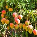 Sâmbure de mango copac