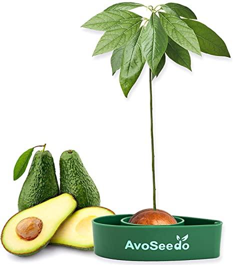 Sambure de avocado